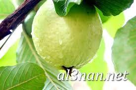 صور جوافة رمزيات وخلفيات جوافة وعصير جوافة 00156 صور جوافة رمزيات وخلفيات جوافة وعصير جوافة