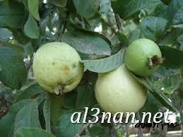صور جوافة رمزيات وخلفيات جوافة وعصير جوافة 00160 صور جوافة رمزيات وخلفيات جوافة وعصير جوافة