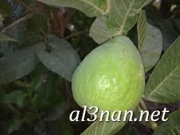 صور جوافة رمزيات وخلفيات جوافة وعصير جوافة 00163 صور جوافة رمزيات وخلفيات جوافة وعصير جوافة