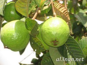 صور جوافة رمزيات وخلفيات جوافة وعصير جوافة 00180 300x225 صور جوافة رمزيات وخلفيات جوافة وعصير جوافة