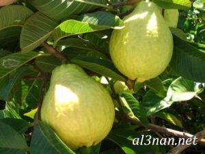 صور جوافة رمزيات وخلفيات جوافة وعصير جوافة 00187 300x225 صور جوافة رمزيات وخلفيات جوافة وعصير جوافة