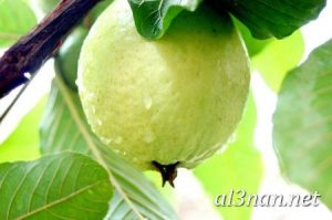 صور جوافة رمزيات وخلفيات جوافة وعصير جوافة 00199 300x199 صور جوافة رمزيات وخلفيات جوافة وعصير جوافة