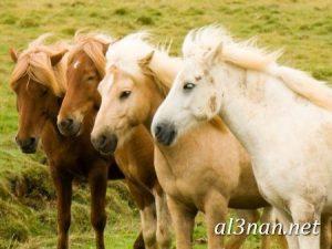 صور-حصان-رمزيات-و-خلفيات-خيل-عربي-اصيل-2019_00185-1-300x225 صور حصان رمزيات و خلفيات خيل عربي اصيل 2019