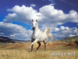 صور-حصان-رمزيات-و-خلفيات-خيل-عربي-اصيل-2019_00186-1-300x225 صور حصان رمزيات و خلفيات خيل عربي اصيل 2019