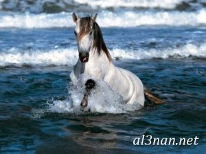 صور-حصان-رمزيات-و-خلفيات-خيل-عربي-اصيل-2019_00190-1-300x225 صور حصان رمزيات و خلفيات خيل عربي اصيل 2019