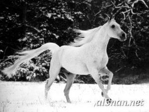 صور-حصان-رمزيات-و-خلفيات-خيل-عربي-اصيل-2019_00191-1-300x225 صور حصان رمزيات و خلفيات خيل عربي اصيل 2019