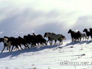 صور-حصان-رمزيات-و-خلفيات-خيل-عربي-اصيل-2019_00192-1-300x225 صور حصان رمزيات و خلفيات خيل عربي اصيل 2019