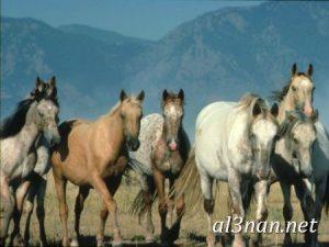 صور-حصان-رمزيات-و-خلفيات-خيل-عربي-اصيل-2019_00193-1-300x225 صور حصان رمزيات و خلفيات خيل عربي اصيل 2019
