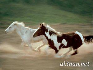 صور-حصان-رمزيات-و-خلفيات-خيل-عربي-اصيل-2019_00194-1-300x225 صور حصان رمزيات و خلفيات خيل عربي اصيل 2019