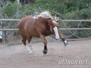 صور-حصان-رمزيات-و-خلفيات-خيل-عربي-اصيل-2019_00198-1-300x225 صور حصان رمزيات و خلفيات خيل عربي اصيل 2019