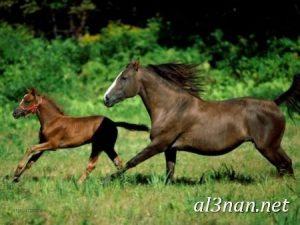 صور-حصان-رمزيات-و-خلفيات-خيل-عربي-اصيل-2019_00205-1-300x225 صور حصان رمزيات و خلفيات خيل عربي اصيل 2019