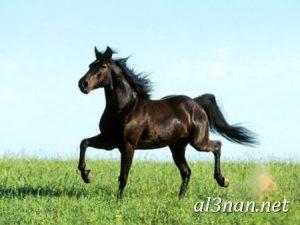 صور-حصان-رمزيات-و-خلفيات-خيل-عربي-اصيل-2019_00208-1-300x225 صور حصان رمزيات و خلفيات خيل عربي اصيل 2019
