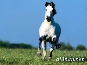 صور-حصان-رمزيات-و-خلفيات-خيل-عربي-اصيل-2019_00209-1-300x225 صور حصان رمزيات و خلفيات خيل عربي اصيل 2019