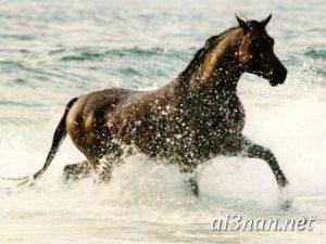 صور-حصان-رمزيات-و-خلفيات-خيل-عربي-اصيل-2019_00210-1-300x225 صور حصان رمزيات و خلفيات خيل عربي اصيل 2019