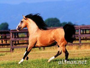 صور-حصان-رمزيات-و-خلفيات-خيل-عربي-اصيل-2019_00212-1-300x225 صور حصان رمزيات و خلفيات خيل عربي اصيل 2019