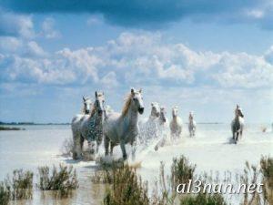 صور-حصان-رمزيات-و-خلفيات-خيل-عربي-اصيل-2019_00215-1-300x225 صور حصان رمزيات و خلفيات خيل عربي اصيل 2019