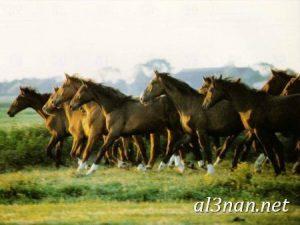 صور-حصان-رمزيات-و-خلفيات-خيل-عربي-اصيل-2019_00217-1-300x225 صور حصان رمزيات و خلفيات خيل عربي اصيل 2019