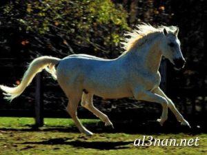 صور-حصان-رمزيات-و-خلفيات-خيل-عربي-اصيل-2019_00219-1-300x225 صور حصان رمزيات و خلفيات خيل عربي اصيل 2019