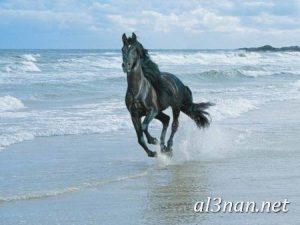 صور-حصان-رمزيات-و-خلفيات-خيل-عربي-اصيل-2019_00221-1-300x225 صور حصان رمزيات و خلفيات خيل عربي اصيل 2019