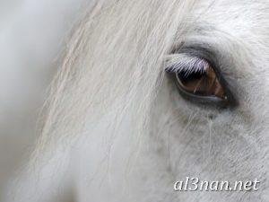 صور-حصان-رمزيات-و-خلفيات-خيل-عربي-اصيل-2019_00222-1-300x225 صور حصان رمزيات و خلفيات خيل عربي اصيل 2019