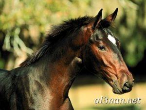 صور-حصان-رمزيات-و-خلفيات-خيل-عربي-اصيل-2019_00223-1-300x225 صور حصان رمزيات و خلفيات خيل عربي اصيل 2019
