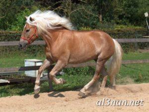 صور-حصان-رمزيات-و-خلفيات-خيل-عربي-اصيل-2019_00224-1-300x225 صور حصان رمزيات و خلفيات خيل عربي اصيل 2019