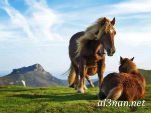 صور-حصان-رمزيات-و-خلفيات-خيل-عربي-اصيل-2019_00225-1-300x225 صور حصان رمزيات و خلفيات خيل عربي اصيل 2019