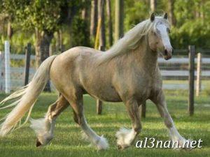صور-حصان-رمزيات-و-خلفيات-خيل-عربي-اصيل-2019_00227-1-300x225 صور حصان رمزيات و خلفيات خيل عربي اصيل 2019