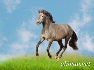 صور-حصان-رمزيات-و-خلفيات-خيل-عربي-اصيل-2019_00229-1-300x225 صور حصان رمزيات و خلفيات خيل عربي اصيل 2019