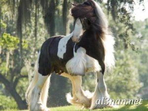 صور-حصان-رمزيات-و-خلفيات-خيل-عربي-اصيل-2019_00231-1-300x225 صور حصان رمزيات و خلفيات خيل عربي اصيل 2019
