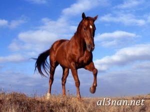 صور-حصان-رمزيات-و-خلفيات-خيل-عربي-اصيل-2019_00232-1-300x225 صور حصان رمزيات و خلفيات خيل عربي اصيل 2019