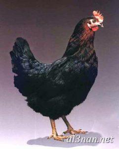 صور دجاج رمزيات و خلفيات فراخ بانواعها 00235 241x300 صور دجاج رمزيات و خلفيات فراخ بانواعها