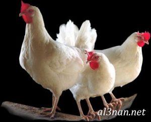 صور دجاج رمزيات و خلفيات فراخ بانواعها 00236 300x243 صور دجاج رمزيات و خلفيات فراخ بانواعها