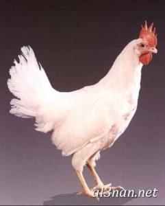 صور دجاج رمزيات و خلفيات فراخ بانواعها 00240 241x300 صور دجاج رمزيات و خلفيات فراخ بانواعها