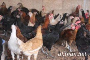 صور دجاج رمزيات و خلفيات فراخ بانواعها 00241 300x200 صور دجاج رمزيات و خلفيات فراخ بانواعها