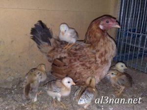 صور دجاج رمزيات و خلفيات فراخ بانواعها 00242 300x225 صور دجاج رمزيات و خلفيات فراخ بانواعها