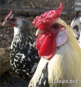 صور دجاج رمزيات و خلفيات فراخ بانواعها 00243 281x300 صور دجاج رمزيات و خلفيات فراخ بانواعها