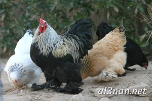 صور دجاج رمزيات و خلفيات فراخ بانواعها 00244 300x200 صور دجاج رمزيات و خلفيات فراخ بانواعها