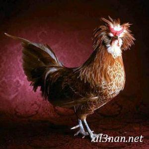 صور دجاج رمزيات و خلفيات فراخ بانواعها 00245 300x300 صور دجاج رمزيات و خلفيات فراخ بانواعها