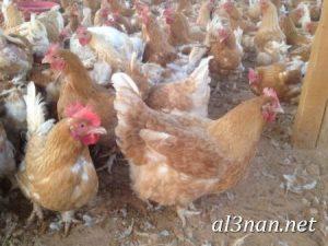 صور دجاج رمزيات و خلفيات فراخ بانواعها 00248 300x225 صور دجاج رمزيات و خلفيات فراخ بانواعها