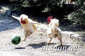 صور دجاج رمزيات و خلفيات فراخ بانواعها 00250 300x198 صور دجاج رمزيات و خلفيات فراخ بانواعها