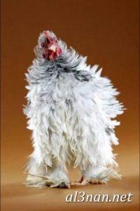 صور دجاج رمزيات و خلفيات فراخ بانواعها 00251 200x300 صور دجاج رمزيات و خلفيات فراخ بانواعها