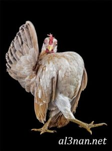 صور دجاج رمزيات و خلفيات فراخ بانواعها 00252 223x300 صور دجاج رمزيات و خلفيات فراخ بانواعها
