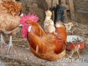 صور دجاج رمزيات و خلفيات فراخ بانواعها 00254 300x225 صور دجاج رمزيات و خلفيات فراخ بانواعها