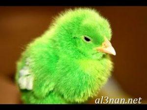 صور دجاج رمزيات و خلفيات فراخ بانواعها 00257 300x225 صور دجاج رمزيات و خلفيات فراخ بانواعها