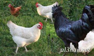 صور دجاج رمزيات و خلفيات فراخ بانواعها 00262 300x181 صور دجاج رمزيات و خلفيات فراخ بانواعها