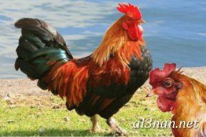 صور دجاج رمزيات و خلفيات فراخ بانواعها 00263 300x200 صور دجاج رمزيات و خلفيات فراخ بانواعها