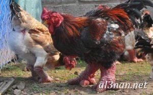 صور دجاج رمزيات و خلفيات فراخ بانواعها 00266 300x187 صور دجاج رمزيات و خلفيات فراخ بانواعها