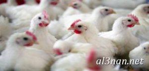 صور دجاج رمزيات و خلفيات فراخ بانواعها 00267 300x143 صور دجاج رمزيات و خلفيات فراخ بانواعها