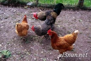 صور دجاج رمزيات و خلفيات فراخ بانواعها 00268 300x200 صور دجاج رمزيات و خلفيات فراخ بانواعها